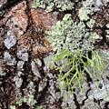Live Oak Lichen II by Rodrick Strelau