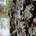 Live Oak Lichen by Rodrick Strelau
