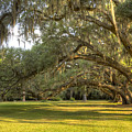 Live Oak Trees Sunrise by Dustin K Ryan