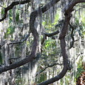 Live Oak With Spanish Moss And Palms by Carol Groenen