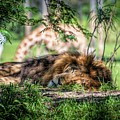 Living In Harmony - Lion by Jan Mulherin