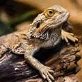 Lizard - Id 16217-202733-1873 by S Lurk