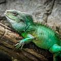 Lizard On Branch by Frank Mari