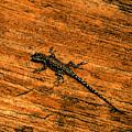Lizard On Sandstone by David Lee Thompson