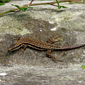 Lizard Tanning by Andrea Arnold