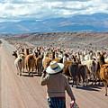 Llama Herd On Road by Jess Kraft
