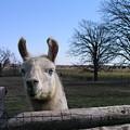 Llama Love by Christine Montague