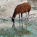 Llama Sip by Teresa Blanton