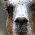 Llama by Teresa Doran