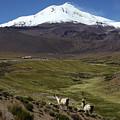 Llamas And Guallatiri Volcano Chile by James Brunker