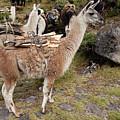 Llamas Carrying Firewood by Aivar Mikko