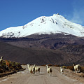 Llamas Crossing Road And Guallatiri Volcano Chile by James Brunker
