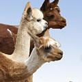 Llama's Three by Heather Coen