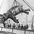 Loading Elephant, 1930s by Granger