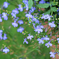 Lobelia Flowers by Karen Adams