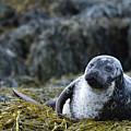 Loch Dunvegan's Harbor Seal by DejaVu Designs