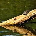 Log Turtle L 3584 by Jerry Sodorff