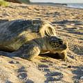 Loggerhead Sea Turtle Returning To The Ocean by Adam Byerly
