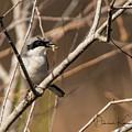 Loggerhead Shrike by Deborah Kainauskas