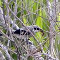 Loggerhead Shrike With Dinner by Terri Mills