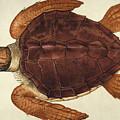Loggerhead Turtle, 1585 by Granger