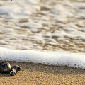 Loggerhead Turtle Hatchling 3 Delray Beach Florida by Lawrence S Richardson Jr