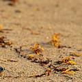 Loggerhead Turtle Hatchling Delray Beach Florida by Lawrence S Richardson Jr