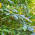 Lollipop Bush In Bourbon Resort Gardens Near Iguazu Falls National Park-brazil  by Ruth Hager
