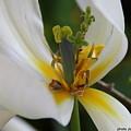 London White Tulip by Jolanta Anna Karolska