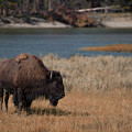 Lone Bison by Cliff Wassmann