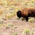 Lone Buffalo  by Joe Schanzer