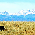 Lone Buffalo Watching The Rocky Mountains by Amy McDaniel