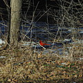 Lone Cardinal by Robyn Stacey