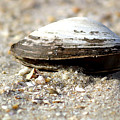 Lone Clam by Mary Haber