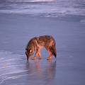 Lone Coyote On The Shore Of Lake Superior by Chris Artist