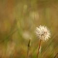 Lone Dandelion 2 by Jill Reger