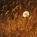 Lone Dandelion by Jill Reger