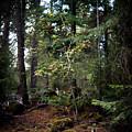 Lone Dogwood by Norman Dean