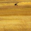 Lone Elk In Field by Lowell Monke