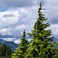 Lone Fir With Clouds by Tom Cochran