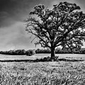 Lone Oak Tree In Black And White by Jennifer Rondinelli Reilly - Fine Art Photography