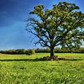 Lone Oak Tree In Wisconsin Field by Jennifer Rondinelli Reilly - Fine Art Photography