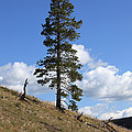 Lone Pine, Yellowstone by Ted Kinsman