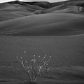 Lone Plant - Sunrise At Great Sand Sunes Np by John McArthur