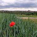 Lone Poppy Amongst Field Of Hops by Bruce Thompson
