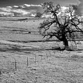 Lone Tree And Cows 2 by Norman Andrus