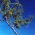 Lone Tree Hawaii by Thomas R Fletcher