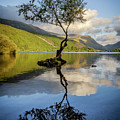 Lone Tree, Llyn Padarn by Peter OReilly
