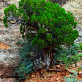 Lone Tree On A Cliff by Tikvah's Hope