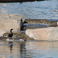 Lone Waterfowl by Jim Williams Jr